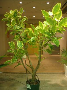 フィカス アルテシマ | プロトリーフの観葉植物ブログ
