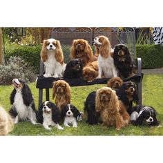 """Find out more info on """"cocker spaniel puppies"""". Look into our web site. Cavalier King Spaniel, Cavalier King Charles Dog, King Charles Spaniel, Puppies And Kitties, Doggies, Spaniel Puppies, Cocker Spaniel, Beautiful Dogs, Dressage"""