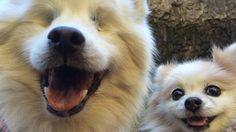 Hoshi el perro ciego que tiene su propio lazarillo - Infobae.com