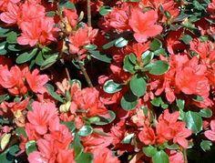 azaleas care - azaleas _ azaleas landscaping _ azaleas landscaping front yards _ azaleas care _ azaleas in pots _ azaleas landscaping backyards _ azaleas landscaping curb appeal _ azaleas tattoo