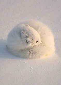 adorbs arctic fox!!