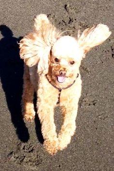 Bouncing Poodle