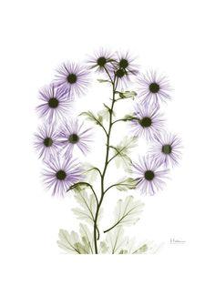 Purple Chrysanthemum Bunch Art Print by Albert Koetsier at Art.com