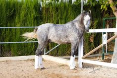 Potro PRE. CHARRUA AZORES. 3 AÑOS Azores, Animals, Horses For Sale, Equestrian, Animales, Animaux, Animal, Animais
