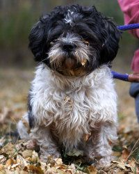 Rocky is an adoptable Shih Tzu Dog in Beldenville, WI. Rocky is a 3 year old TeddyBear Shitzu.   He is good with kids and other dogs.   If you are interested in Rocky contact us at 715-307-0200 or ......