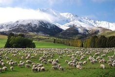 Lots of sheep - South Island, New Zealand