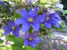 Clematis - climbing plant - grow well in Canberra