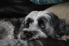 There is no love like Tibetan Terrier love!