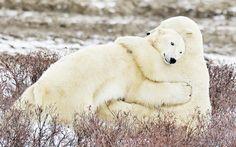 two cute polar bears hugging