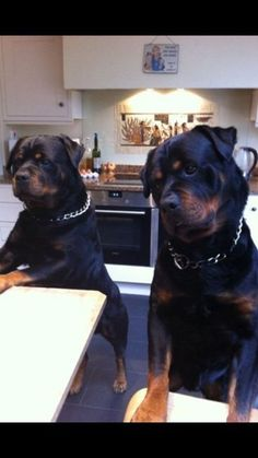 Wow these Rottweilers look like they're ready to cook in the kitchen, lol! #headtilt