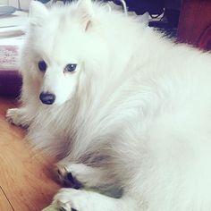 . ひーちゃんに場所をとられてかわいそうな小太郎。私が布団に入ると布団の上に小太郎、そして布団の中にひーちゃん、、、狭い。 . #犬バカ部#ペット#日本スピッツ#スピッツ#犬#愛犬#わんこ#わんちゃん#小太郎#今日のわんこ#癒しわんこ#わんこなしでは生きていけません会#japanesespitz#spitz#petstagram#dogstagram#instadog#dogslife#doglover#dogs#petstagram#pet#cute#love#puot#DoGood#animalrights#whitedog#doggy#instalike#instagood