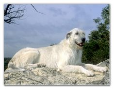 I will have a giant Irish Wolfhound and I will name him/her Lupin.