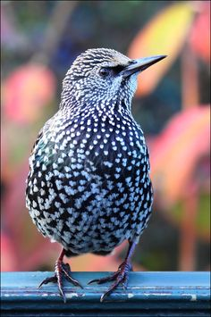 Winter starling. by Evey-Eyes.deviantart.com on @deviantART - love the little heart-shaped  speckles!