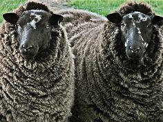 Warbleton ewes
