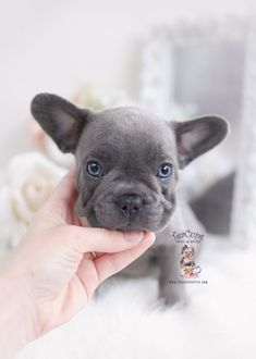 New Arrivals at TeaCup Puppies blue-french-bulldog-puppy-for-sale-teacup-puppies Teacup Puppies For Sale, Bulldog Puppies For Sale, Toy Puppies, Teacup French Bulldogs, Blue French Bulldog Puppies, Rare Animals, Cute Baby Animals, Pomeranian Puppy, Yorkie