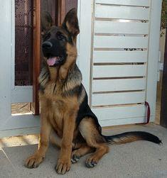 GSD-Kruzr #DogRazas