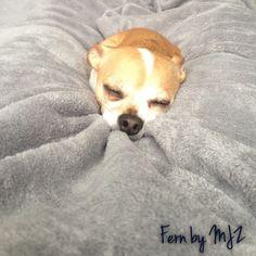 Snuggly chihuahua