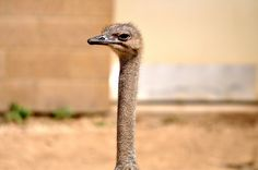 Ostrich at Como Zoo in St Paul