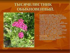 тысячелистник: 11 тыс изображений найдено в Яндекс.Картинках