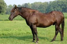 Find out what you can do to help prevent your horse from developing equine metabolic syndrome or PPID.