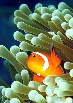 Clown Anemonefish by i8ashark, via Flickr