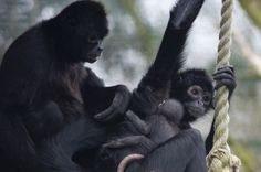 Baby spider monkey at Twycross Zoo is too cute