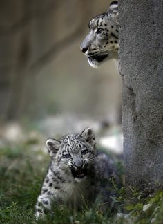 A three month old snow leopard cub and his mother Sarani are seen at the Brookfield Zoo in Brookfield, Illinois