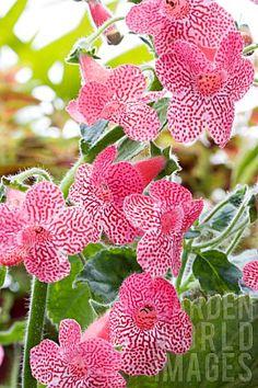 Google Image Result for http://www.gardenworldimages.com/ImageThumbs/TRE8372/3/TRE8372_KOHLERIA_SUNSHINE.jpg