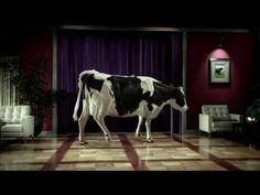 A Hollywood cow ~
