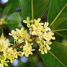 """Perfumery Material: Osmanthus aka Tea Olive - """"Highly fragrant and succulent in its peachy-apricoty top note it is nothing short of mouthwatering."""" More at The Perfume Shrine Garden Shrubs, Flowering Shrubs, Garden Plants, Indoor Plants, Vegetable Garden, Cream Flowers, Gold Flowers, White Flowers, Tropical Flowers"""
