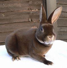 Chocolate Otter Rex Rabbit