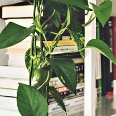 Plants that Purify the Air; Plants for Low Light