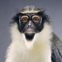 portrait by Jill Greenberg, probably black faced vervet monkey