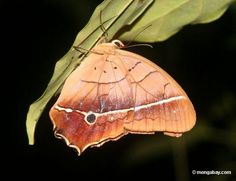 borboleta à noite - Pesquisa Google