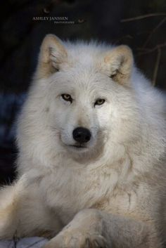 Wolves are an essential part of wildlife. They are intelligent.