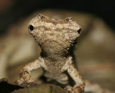 tiny chameleon, discovered in madagascar!