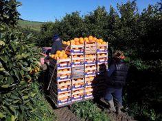 http://arancedisicilia.wordpress.com/2014/01/26/lavoro-duro-agricoltura/