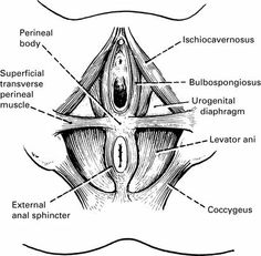 Perineal Muscle...From the book Gynaecology Illustrated - Catrina Bain