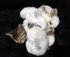 Baby bunnies can't get enough of kitten warmth