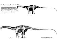Apatosaurus excelsus, credit to Scott Hartman