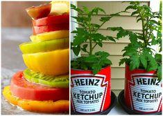 Snabbaste tomatodlingen!