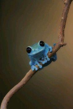 Tiny blue frog