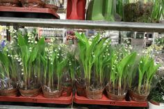 Lilley of the Valley plants at the brand new, New Covent Garden Market, April New Covent Garden Market, New Market, Flower Market, New Chapter, Love Flowers, Marketing, Plants, Flora, Plant