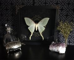 Victorian Luna Moth Shadow Box, Taxidermy, Real Butterfly, Framed Butterfly, Preserved Butterfly, Victorian, Memento Mori, Gothic Decor by beyondthedarkveil on Etsy https://www.etsy.com/ca/listing/551976803/victorian-luna-moth-shadow-box-taxidermy