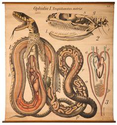 freakyfauna:    Snake Anatomy.Paul Pfurtscheller Zoological Wall Table.  Found here.