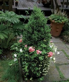 10 Plants for Year-round Containers - Fine Gardening Article. 'Green Mountain' boxwood (Buxus 'Green Mountain', Zones is a slow-growing shrub that, unlike many other boxwoods, retains a dark green color throughout the winter. Planters For Shade, Boxwood Planters, Front Door Planters, Flower Planters, Garden Planters, Container Plants For Shade, Container Flowers, Fine Gardening, Container Gardening