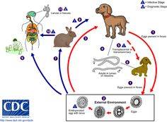 Life cycle of Toxocara canis and Toxocara cati.