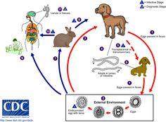 Life cycle of Toxocara canis and Toxocara cati.