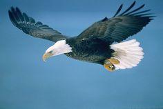 Bald Eagle In Flight, Alaska Travel Photos