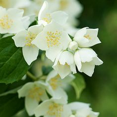 Stephanotis - Line flower, 25 bunch